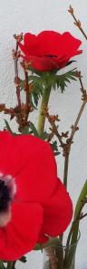 Anemone bougeons