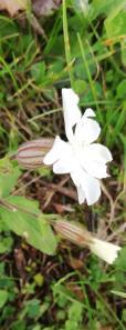 Fleurette blanche